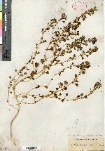 Image of Amaranthus acutilobus