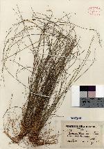 Image of Panicum pradanum