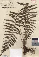 Image of Amauropelta underwoodiana