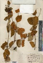 Image of Croton lasiopetaloides