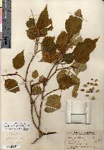 Image of Croton verapazensis