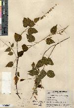Image of Croton lotorius