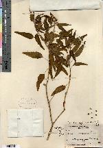 Image of Croton subjucundus