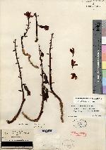Hexalectris grandiflora image