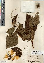 Image of Croton quercetorum
