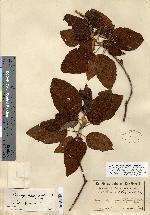 Image of Croton pagiveteris