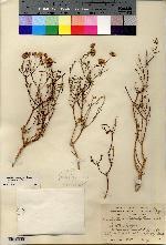 Porophyllum crassifolium image