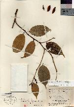 Cavendishia calycina image
