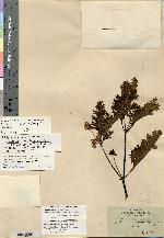 Lecocarpus lecocarpoides image