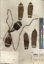 Aristolochia tonduzii image