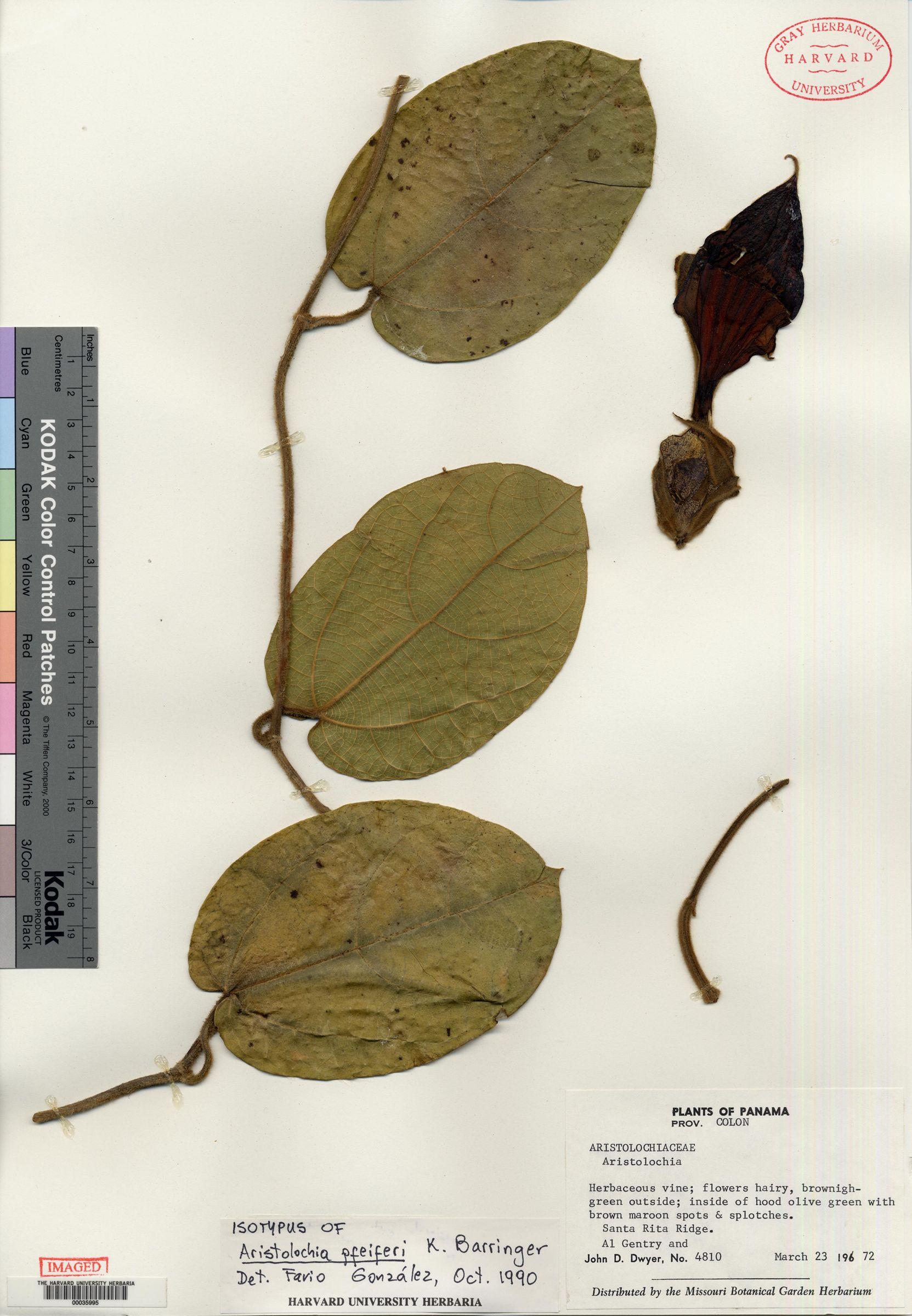 Aristolochia pfeiferi image