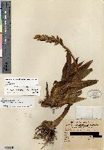 Image of Catopsis wangerinii