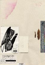 Pitcairnia arcuata image