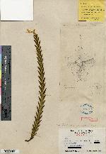 Lockhartia amoena image