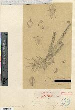 Lockhartia micrantha image
