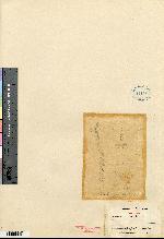 Lockhartia oerstedii image