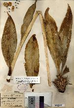 Image of Agave planifolia