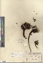 Geranium alpicola image