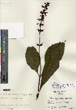 Image of Salvia divinorum