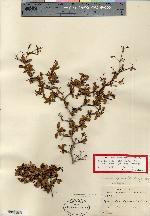 Terminalia spinosa image