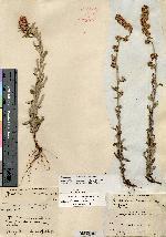 Gamochaeta rosacea image