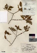 Image of Croton sutup