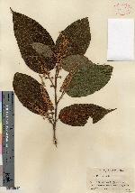 Croton tenuicaudatus image