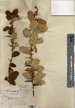 Image of Croton bispinosus