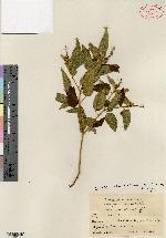 Image of Croton jacmelianus