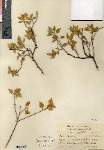 Image of Croton mansfeldii