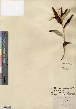 Image of Croton priorianus