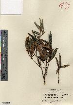 Image of Croton alainii