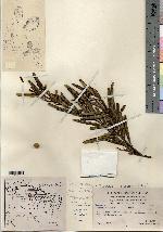 Image of Croton leonis