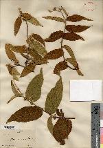 Croton alamosanus image