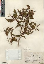 Image of Croton icche