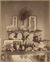 [Wax specimens in the Harvard Psychological Laboratory in Dane Hall, photograph Digital Object