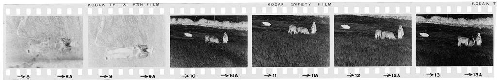Untitled (Farmer And Cowherds In Grassy Field, Nazaré, Portugal)
