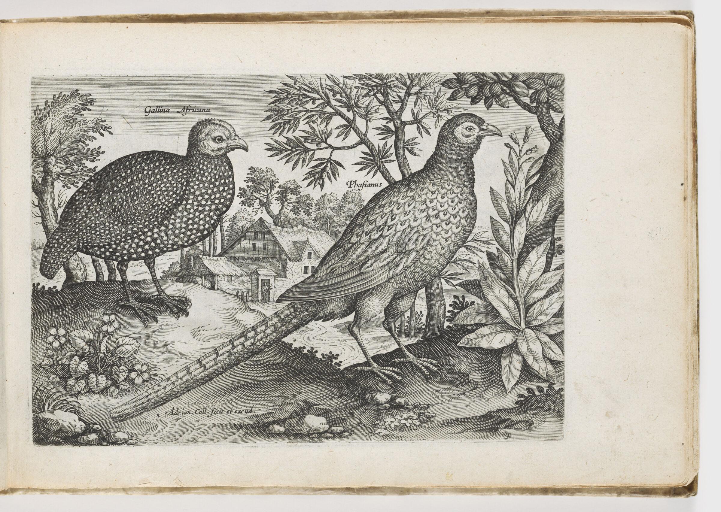 Guinea Hen And Pheasant