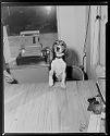 Untitled (Dog Standing On Chair With Paws Up On Table In Front Of Cash Register)