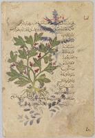 Fineleaf Fumitory Folio From A Manuscript Of Khawass Al-Ashjar (De Materia Medica) By Dioscorides
