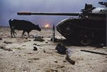 Dying Cow Wanders in Burning Oil Fields