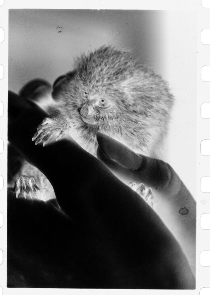 Untitled (Hand Holding Small, Furry, Rodent-Like Animal (Titi Monkey?))