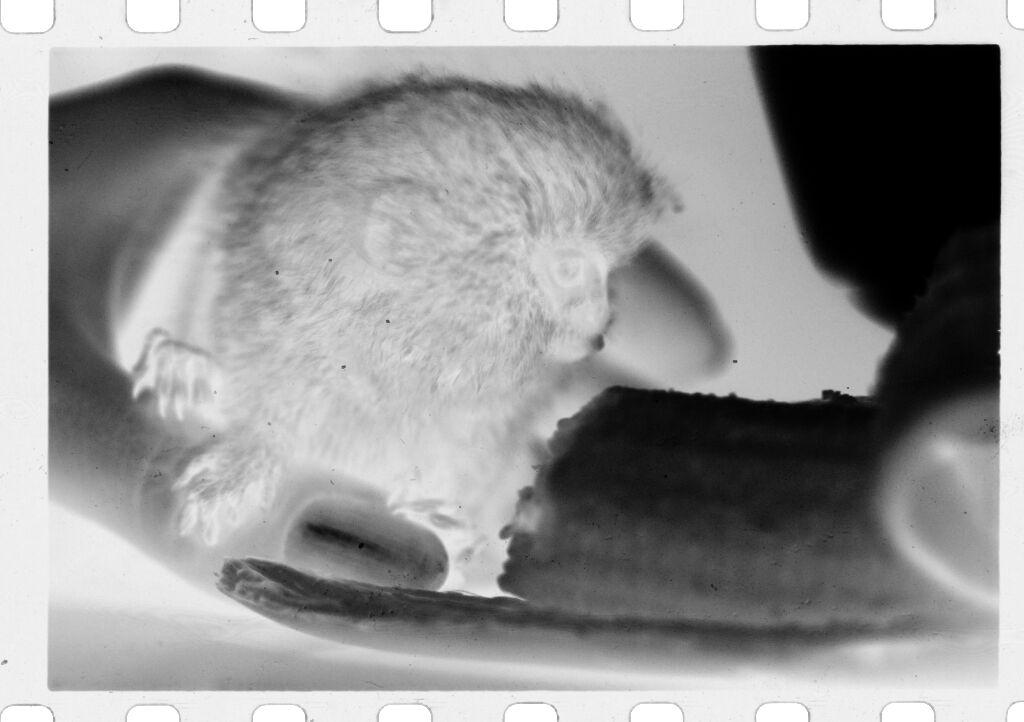 Untitled (Small, Furry, Rodent-Like Animal (Titi Monkey?) Nibbling On Banana)