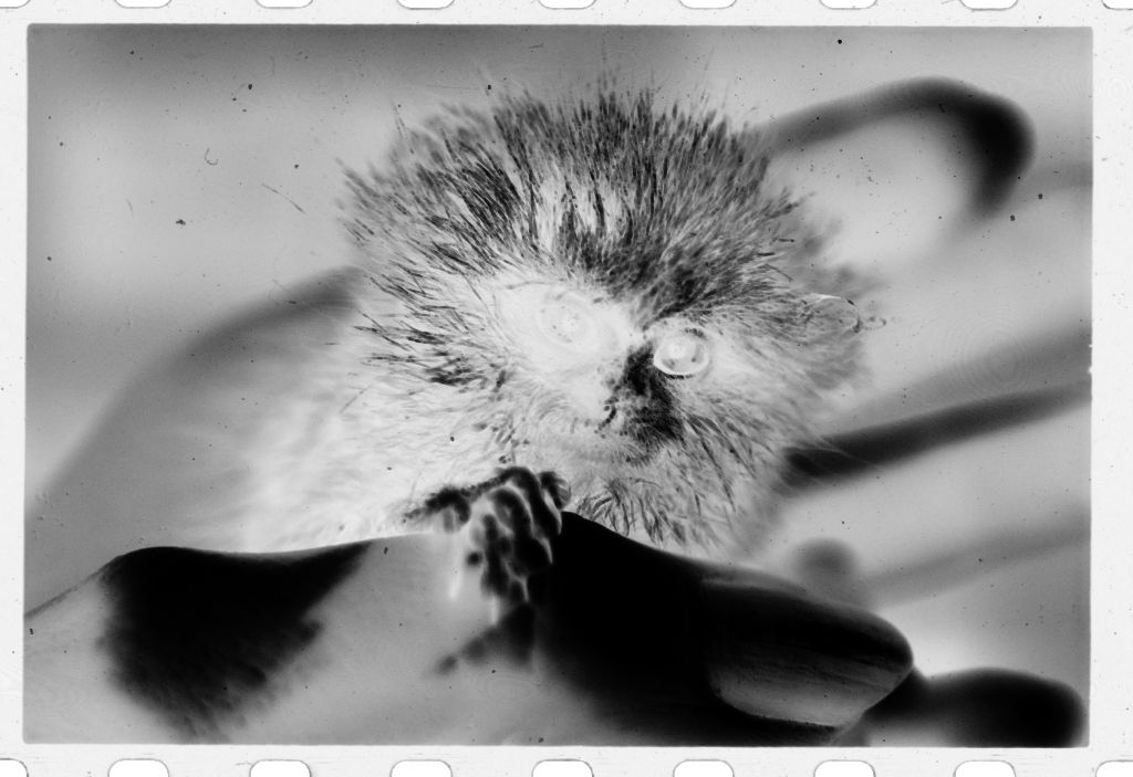 Untitled (Small, Furry, Rodent-Like Animal (Titi Monkey?) Held In Person's Hand)