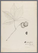 Aesculus flava, Center Creek, Lawrence Co., Mo., W.S.F., del.