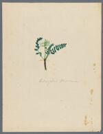 Astragalus Mexicanus