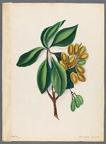 Corynocarpus laevigata (Karaka)