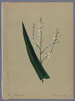 Cordyline Banksii (Ti ; Cabbage palm)