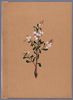 Phebalium nudum (Maire-hau)