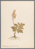 Botrychium dissectum var. obliquum (Muhl.) Clute, (B. multifidum)